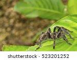 Tarantula Spider On Green Leaf...