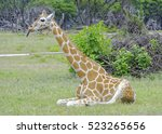 Lone Giraffe With Extended...