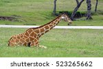 Small photo of Lone Giraffe in repose in grassland