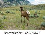 herd of elk in yellowstone... | Shutterstock . vector #523276678