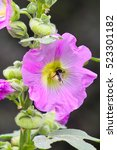 Small photo of Pink Hollyhock flower with bumblebee (Alcea rosea)