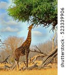 Small photo of A Giraffe (Giraffa camelopardalis) feeding on an Acacia Tree with blue cloudy sky background in Hwange National Park, Zimbabwe, Southern Africa