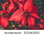 Mystical Red Poinsettia On...