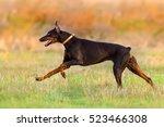 Doberman Run Fast In Autumn...