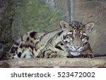 Clouded Leopard Clouded Leopar...
