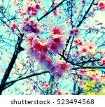 close up spring sakura cherry... | Shutterstock . vector #523494568
