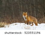 mammals   red fox  vulpes... | Shutterstock . vector #523551196