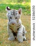 Stock photo baby white tiger 52386550