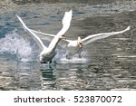 Two White Goose Landing In The...