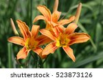 Orange Day Lily. Close Up...
