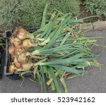 Small photo of Bunch of Home Grown Organic Onions 'Santero' (Allium cepa) in a Black Plastic Tray on an Allotment in a Vegetable Garden in Rural Devon, England, UK