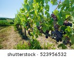 wineyard with red grapes   Shutterstock . vector #523956532