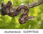 Emperor boa (Boa constrictor imperator) on a tree, Costa Rica