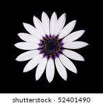 Beautiful Osteospermum Asti White Daisy with purple center isolated on Black background. Top view - stock photo