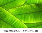 the leaves of the banana tree... | Shutterstock . vector #524024818