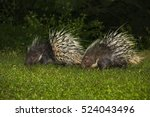 east asian porcupine close up... | Shutterstock . vector #524043496