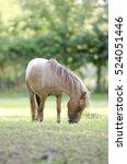 Small photo of Miniature appaloosa horse
