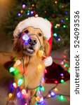 Golden Retriever Dog Wrapped I...