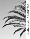 black   white palm tree photo | Shutterstock . vector #524185966