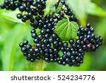 Elderberry. Closeup View Of We...