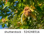 Sweet Chestnut Tree With...