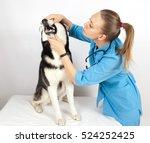 Stock photo veterinary doctor examines the dog teeth siberian husky 524252425