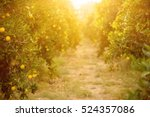 orange garden with ripening... | Shutterstock . vector #524357086