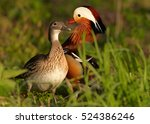 Small photo of Aix galericulata, Mandarin duck. Pair of colorful ducks in spring. Europe, Czech republic.