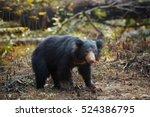 Close Up  Wild Sloth Bear ...