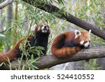 Red Pandas In Trees. These...