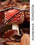 Small photo of Poisonous amanita mushroom