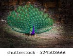 Male Peafowl Or Peacock...
