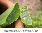 Close Up Of Aloe Vera In The...