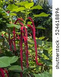 Small photo of Red hot cat's tail. Latin name - Acalypha hispida