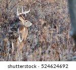 whitetail deer buck standing in ... | Shutterstock . vector #524624692
