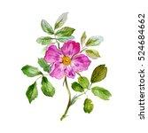 Wild Rose In Watercolor. Pink...