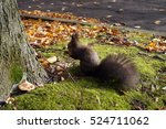 Squirrel With Black Fur And...