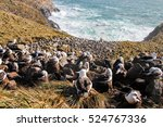 Small photo of Black-browed albatrosses on New Island, Falkland Islands