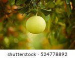 ripe pomelo fruits hang on the... | Shutterstock . vector #524778892