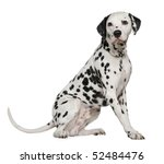dalmatian  4 years old  sitting ... | Shutterstock . vector #52484476