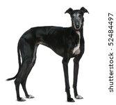 Galgo Espanol Dog  5 Years Old...