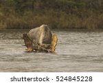 paddles up   a bull moose with... | Shutterstock . vector #524845228