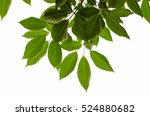 tree leaf on white background | Shutterstock . vector #524880682