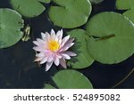 water lily or lotus  aquatic... | Shutterstock . vector #524895082