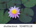water lily or lotus  aquatic... | Shutterstock . vector #524895118