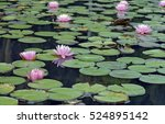water lily or lotus  aquatic... | Shutterstock . vector #524895142