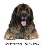 Leonberger Dog  5 Years Old  I...