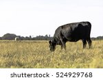 thin angus cow grazing in a... | Shutterstock . vector #524929768