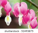 Bleeding Heart Flowers ...