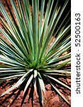 Small photo of Blue Yucca is a genus of perennial shrubs and trees in the agave family